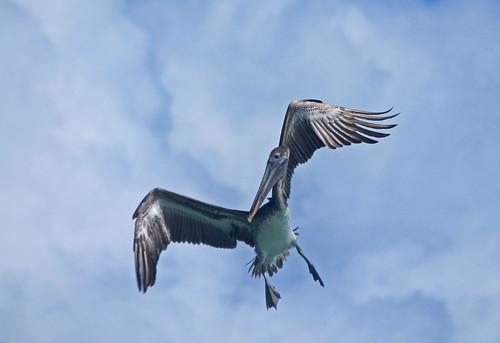 517. Pelican