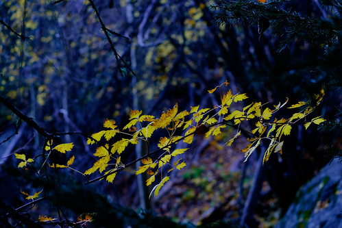 velviavivid autumn fujinonxf55200mmf3548rlmois bluehour fujifilmxt1 leaves earlymorning santafenationalforest places filmsimulationpostprocessed nambe newmexico unitedstates us