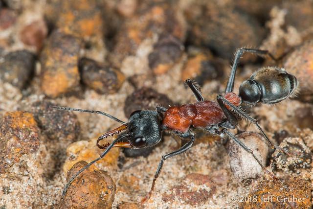 Jumper Ant (Myrmecia sp.)