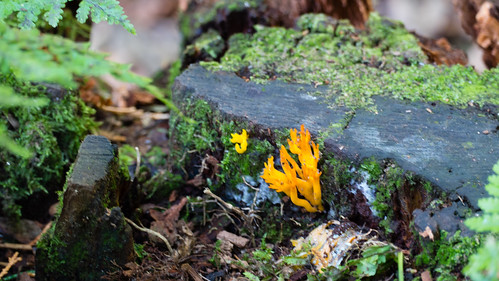 Autumn fungi: yellow stagshorn
