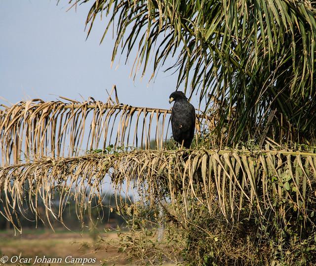 Great Black Hawk - Águila Negra