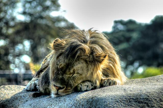 Schlafender Löwe - Sleeping Lion