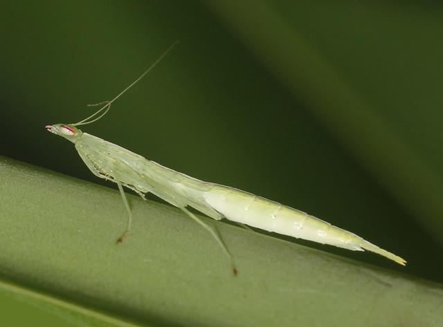 Snake mantis nymph