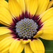 Yellow, Burgundy, & Blue  Osteospermum, 1.29.18