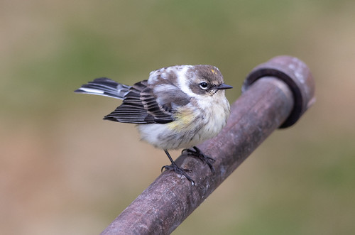 Leucistic Yellow-rumped Warbler