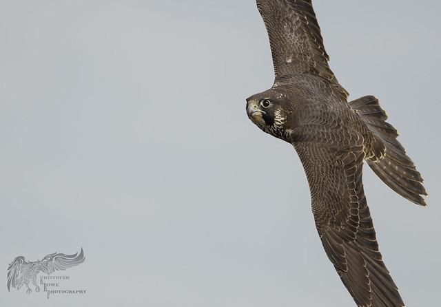 Juvenile Peregrine Falcon 10_22