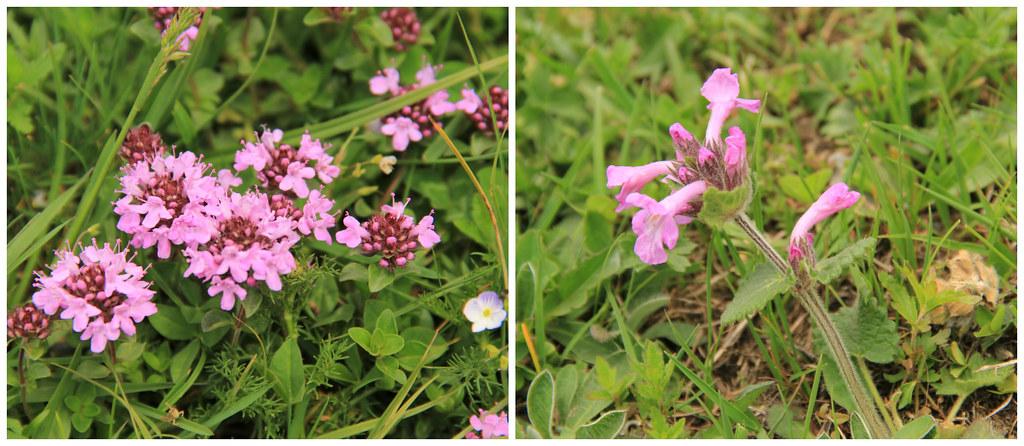 Flowers, Ushguli, Svaneti