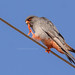 Red-footed Falcon -  Roodpootvalk