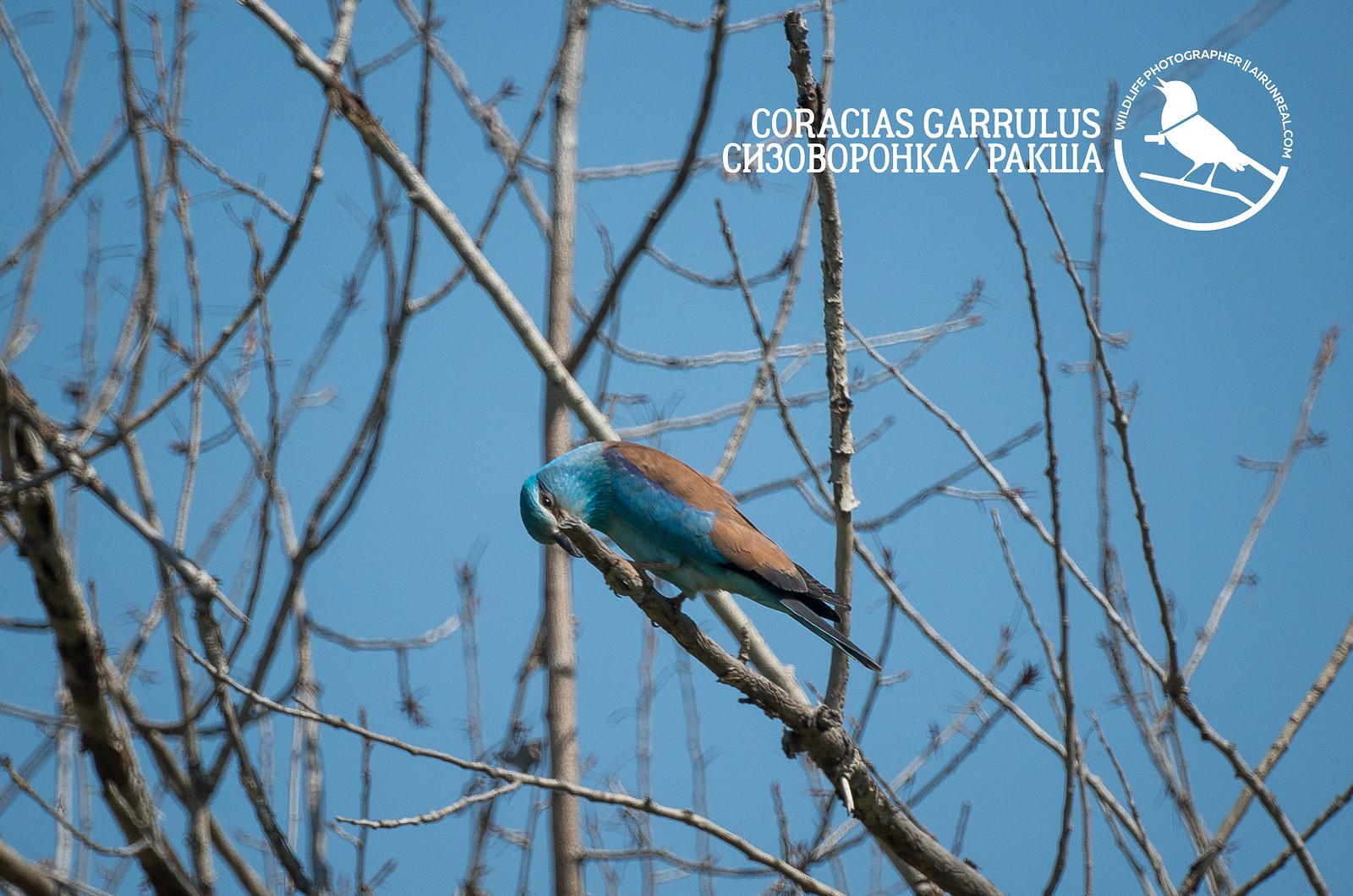 Coracias garrulus // 20181107
