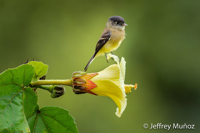Black-capped Flycatcher, Canon EOS 5D MARK IV, Canon EF 500mm f/4L IS II USM