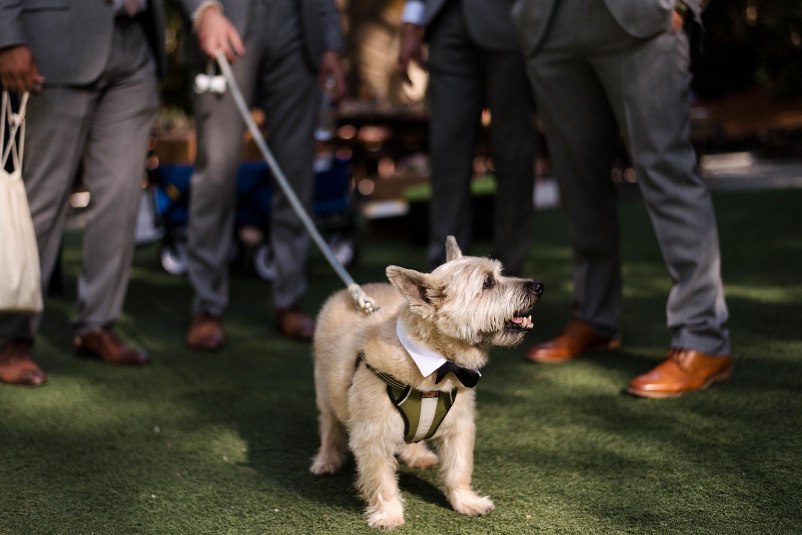 Dog at Wedding Ring Bearer on juliettelaura.com