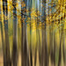 golden aspens by marianna_armata