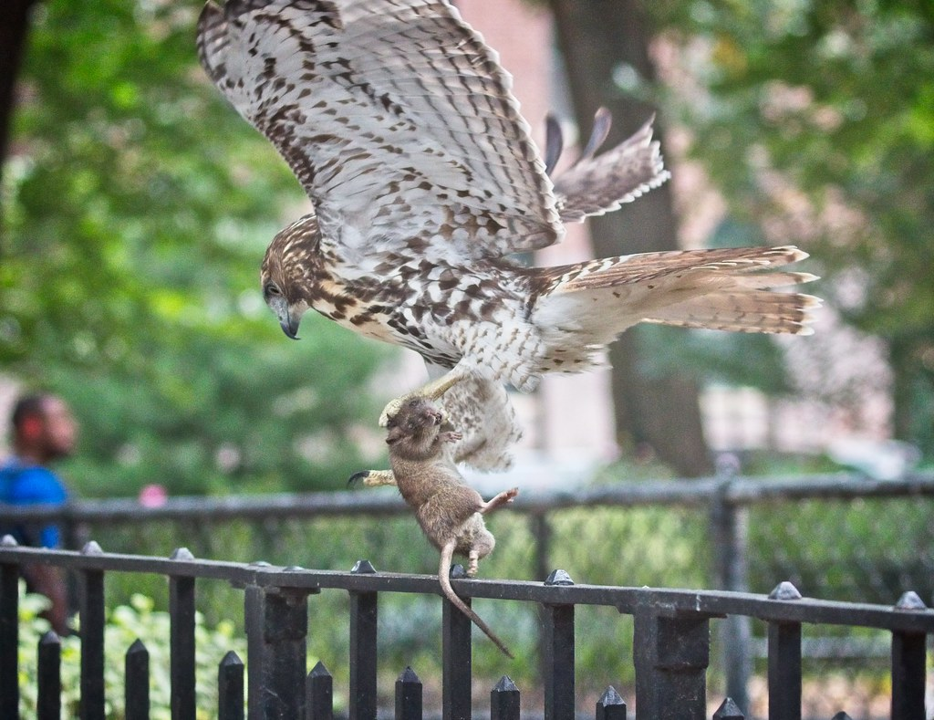 Tompkins red-tail fledgling catches a rat