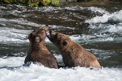 Bears 503 and 812 play along the Brooks River