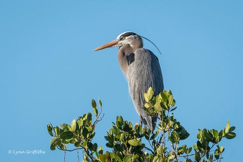 herons birds greatblueheron nature ardeaherodias bird ciconiiformes coast fauna heron marsh wading wildlife wetland fortmyers florida unitedstates us