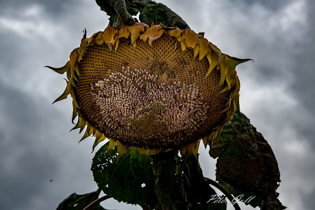Sunflower 277, Nikon D850, AF-S Nikkor 28-300mm f/3.5-5.6G ED VR