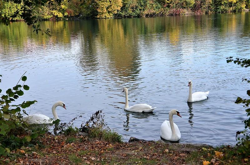 Swans 23.10 (5)