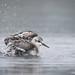 Sanderling | Calidris alba | Bécasseau sanderling by Paul B Jones
