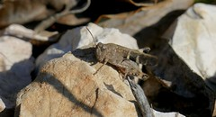 Broad Green-winged Grasshopper (Aiolopus strepens) male ...