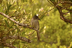 Ruiseñor cubano - Cuban nightingale