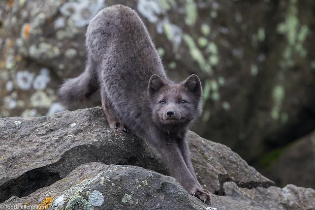 CA3I5620-Arctic Fox