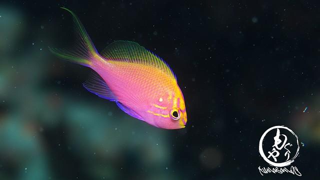 いつ見ても美しいハナゴンベ幼魚ちゃん♪