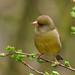 35 Greenfinch