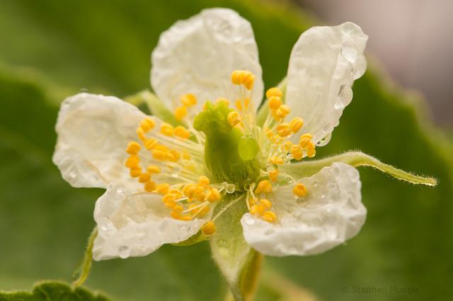 Panama Berry flower