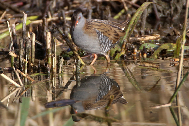 Water Rail, Canon EOS 6D, EF600mm f/4L IS USM