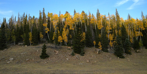 Yellow leaves in the forest in autumn at Grand Canyon, Arizona