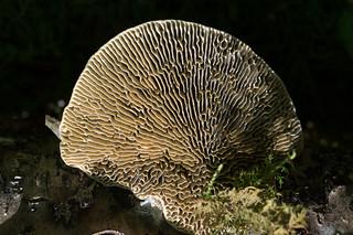 Oak Mazegill fungi