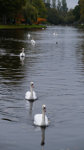 Swans of Avon, lining up