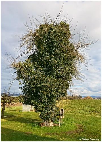 Der alte Gravensteinerbaum