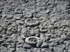 Ammonites (Coroniceras multicostatum) - Dalle aux Ammonites (Digne-les-Bains, Francia) - 14