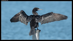 Little Black Cormorant; Hanging out the Washing