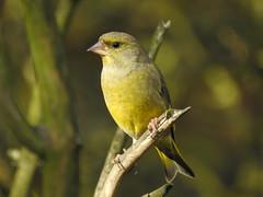 Greenfinch DSCN2693