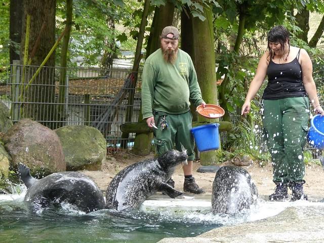Ostatlantischer Seehund, Tierpark Neumünster