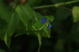 2018-10-7. Asiatic dayflower 2