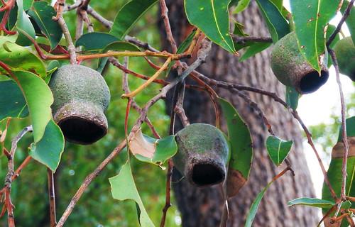 Eucalyptus seed pods_W Australia_July 2018