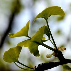 Ginkgo biloba - spring, new leaves