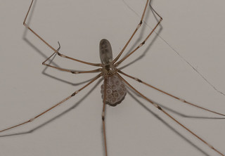 Arachtober 17 - Pholcus phalangioides - Cellar spider