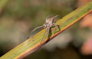 Arachtober 19 - Young Pisaura mirabilis (Nursery web spider)