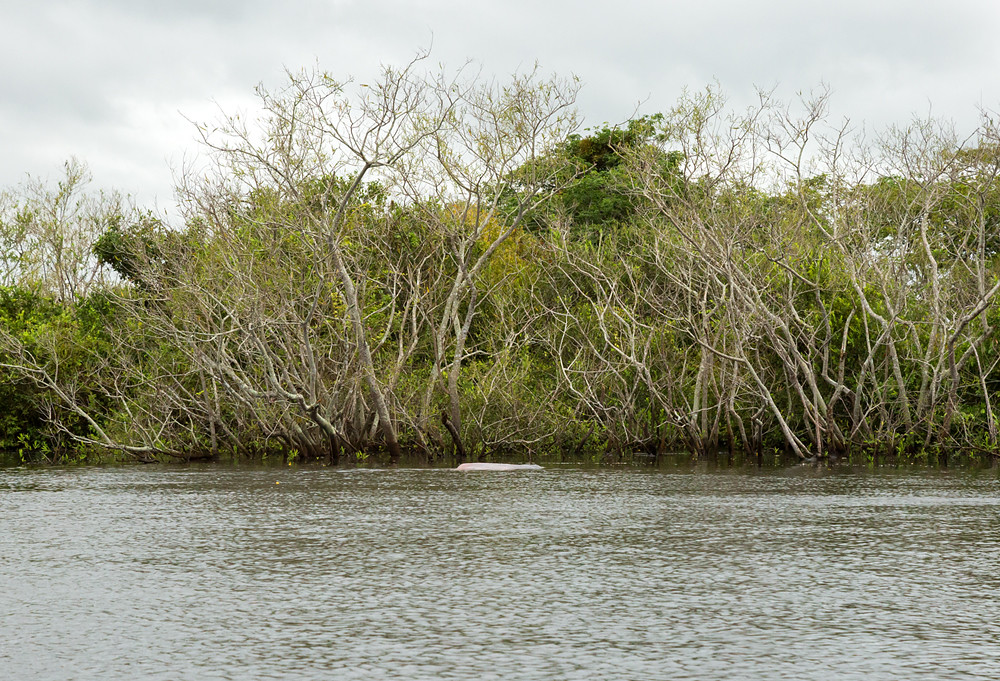 Боливийский речной дельфин (Inia geoffrensis boliviensis)