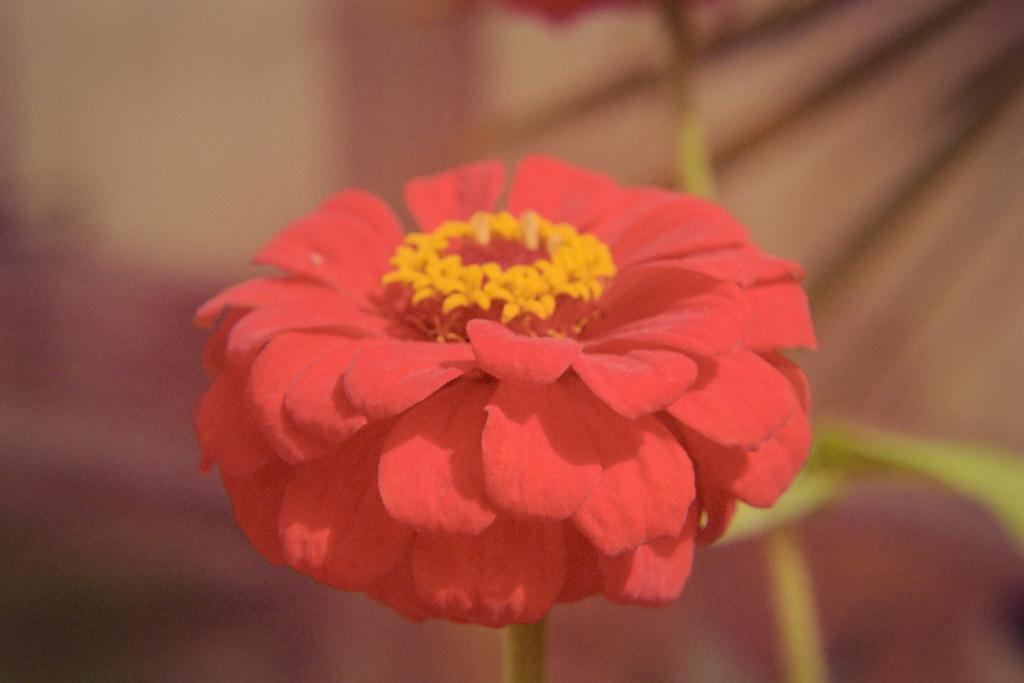 Spring 2018 Flower Closeups IV | Nikon FE  Kodak Portra 400