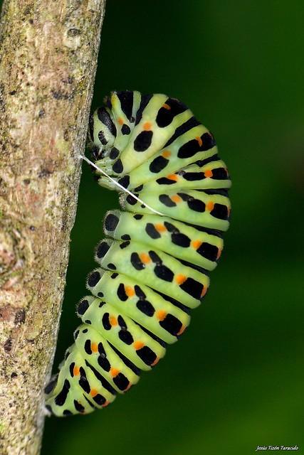 Papilio machaon Linnaeus, 1758, Nikon D3100, AF-S VR Micro-Nikkor 105mm f/2.8G IF-ED