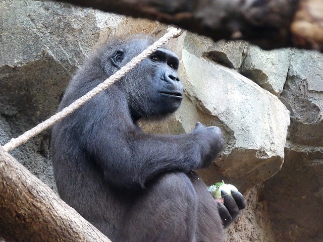 Gorilla Dian, Zoo Frankfurt