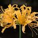 Golden Spider Lily by Juggler Jim