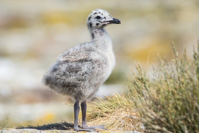 Herring Gull Chick Larus argentatus