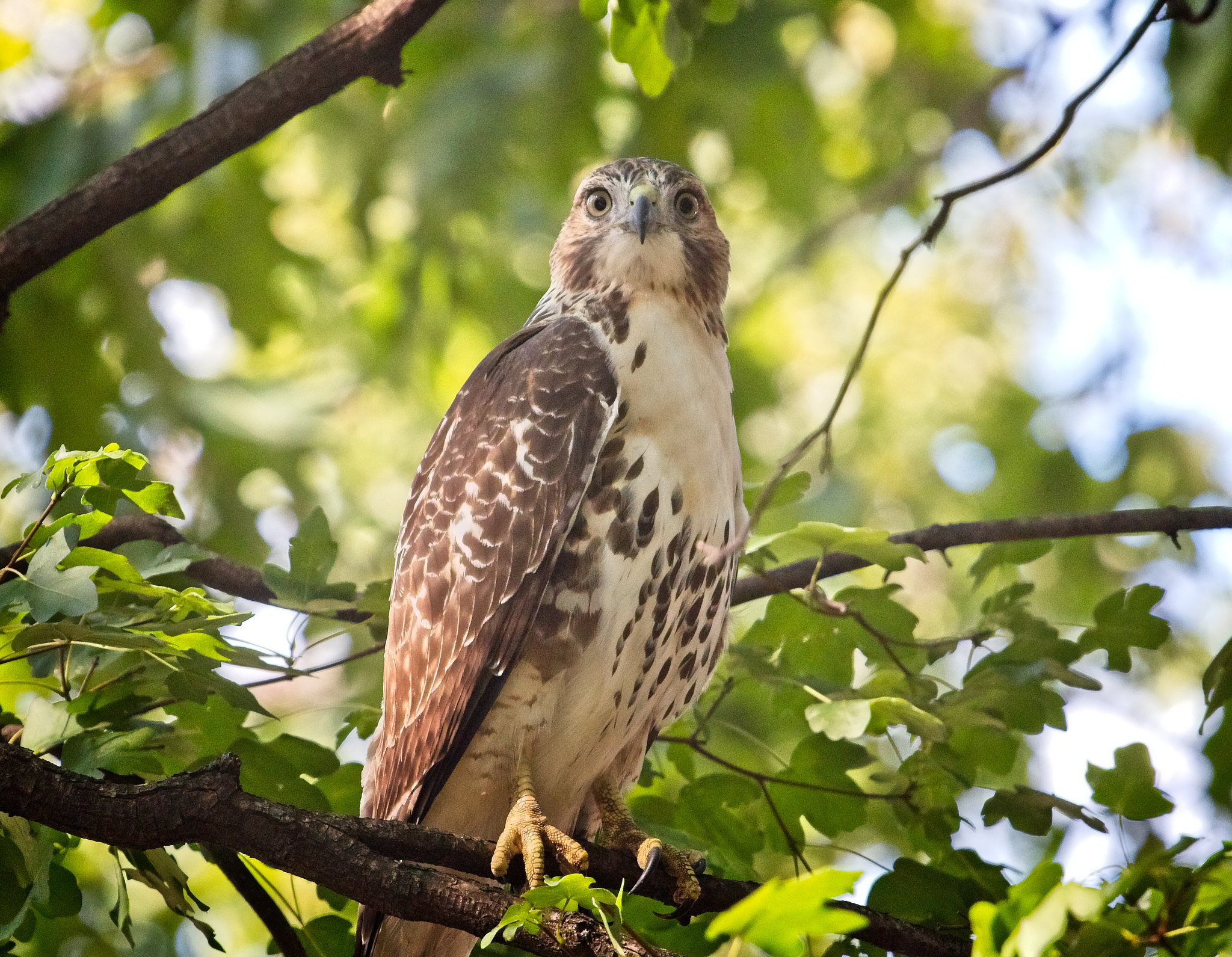 Immature red-tail in Tompkins Square