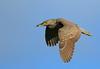 Bihoreau gris juvénile, Black Crowned Night Heron by Serge Rivard